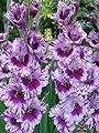 """Gladiolus - Gladiole """" Passos """" (5) von Mosselman - Du und dein Garten"""
