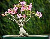Natures Buggy Adenium Live Plant