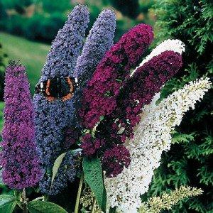 Schmetterlingsflieder 50 Samen (Buddleia Davidii) Butterfly Bush (Schmetterling Bush-blüte)