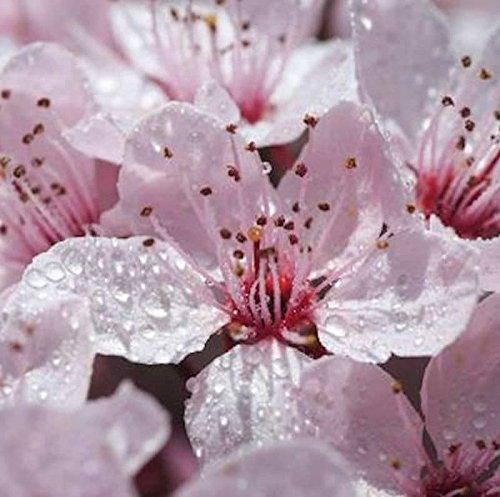 Hochstamm Gefüllt blühende Blutpflaume 100-125cm - Prunus cerasifera