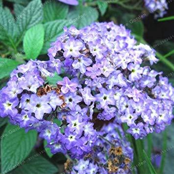 vonly Vanilleblume Pflanze chinesische Bonsai-Blumen-Anlage Hausgarten-100 Stück zu wählen: 3