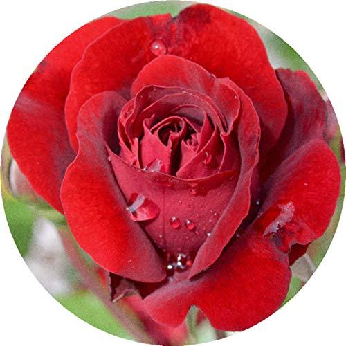 Azeeda 24 x 40mm Runden 'Rote Rose' Aufklebern / Stickers (SK00001957)
