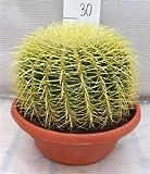 Kaktus Goldkugelkaktus - Echinocactus grusonii - Zimmerkaktus - verschiedene Größen