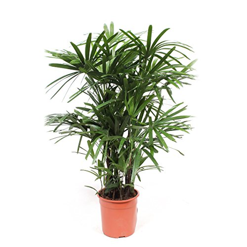 FloraAtHome - Grünpflanze - Rhapis excelsa - Steckenpalme - 110cm hoch