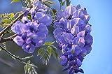 Semi di Glicine 20 pz, Piante Rampicanti Semi di Fiori per Giardino Cortile (blu)
