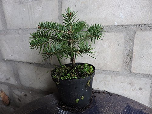 10 Stk. Nordmanntanne Bakuriani -( Abies nordmanniana Bakuriani) Topfware 8-12 cm 3 jährig