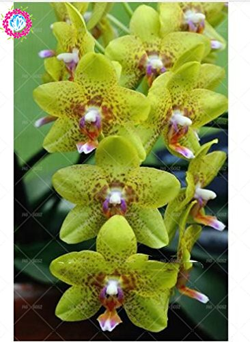100pcs 20 couleurs d'orchidées rares Cymbidium, graines de Cymbidiums africaines, graines de fleurs bonsaï Phalaenopsis, plante pour le jardin de la maison en pot 13