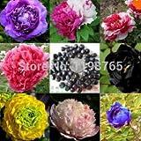 10 Samen / bag 24 Farben Pfingstrose sät Blumentöpfe Pflanz Pfingstrosen Samen Bonsai Pflanzen Samen für Heim & Garten