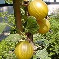 Hinnonmäki gelb, Stachelbeere Hochstamm, guter Geschmack, ca. 80-90 cm Stamm im 3-4 Liter Topf von Grüner Garten Shop auf Du und dein Garten