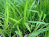ZAC Wagner 25 Filterpflanzen im Sortiment Teichpflanzen Teichpflanze Filterpflanzen