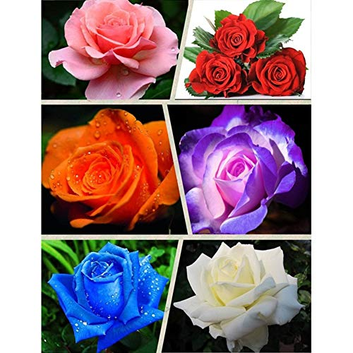 Xdised9xsmao 100pcs freschi semi di rose rari semi di fiori piante giardino di casa sul tetto cortile bonsai balcone arredamento ufficio bianco latte semi di rosa