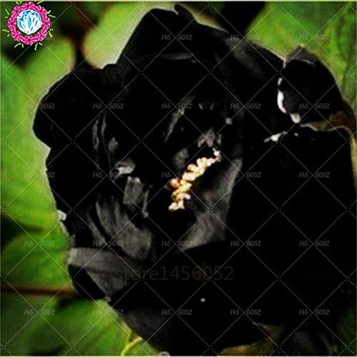 10 pcs / sac graines de pivoines fleurs doubles Heirloom Sorbet robuste pivoines graines de fleurs bonsaï noir graines de pivoine arbustive pot de plantes de jardin 1