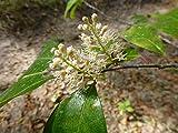PLAT FIRM GERMINATIONSAMEN: Lorbeer-Kirsche Pflanzgut (Prunus caroliniana)? 10 Reine Wurzel Keimlinge