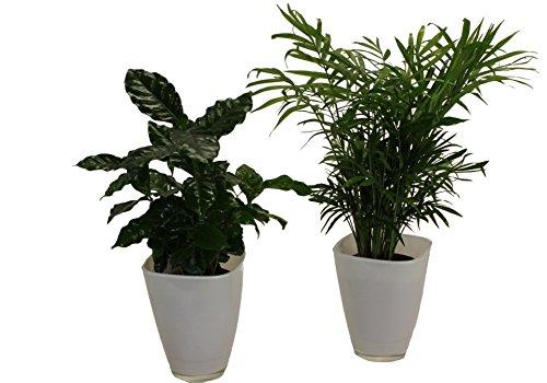 Amazon.de Pflanzenservice Kaffee mit Zimmerpalmen-Duo und Dekotopf, weiß, Zimmerpflanzen, Kübelpflanzen