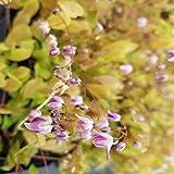 lichtnelke - Elfenblume (Epimedium grandiflorum) Sasaki