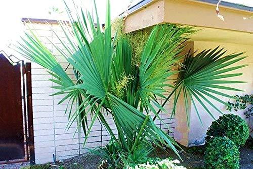 AGROBITS Onkel Chan * 10 Samen Sabal Minor Palm Rare Dwarf Frische Tropical Garden Viab C695