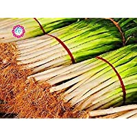 Vistaric 100pcs semillas de cebolla china gigante, cebolla verde, semillas de frutas vegetales de la herencia orgánica, dulce y saludable, para la plantación de huertos caseros