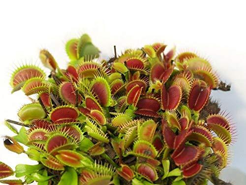 HATCHMATIC Hardy Fruit Kiwi 10 graines -Actinidia -