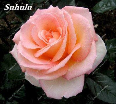 100 pièces / sac Couleur Rare Rose Graines Outdoor Bonsai Graines de fleurs vivaces Fleurs Graines Plante en pot pour jardin Décor 21