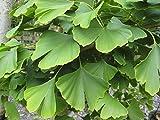 GARDENHOUSE Ginkgo Biloba Maidenhair Tree, Krankheit gratis Hardy Pflanze für Memory–Medizinische Herbal nützlichen Baum 9cm Topf Pflanze