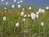 ScoutSeed Keine: Eriophorum vaginatum - Marginal Teichpflanzen - Teichpflanzen - Wasserpflanzen