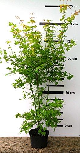 Japanischer Fächer-Ahorn - Acer palmatum Orange Dream - 130/160 cm hoch - Veredelung - im Topf