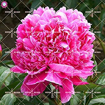 10 pcs Double Blooms Pivoine Graines Heirloom Sorbet robuste Pivoine rouge Bonsai Graines de fleurs Pot Arbre pivoine Graines Jardin Plant 2