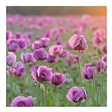 Vliestapete - Violette Schlafmohn Blumenwiese im Frühling - Fototapete Quadrat Vlies Tapete Wandtapete Wandbild Foto 3D Fototapete, Größe HxB: 192cm x 192cm