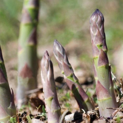 premier-seeds-direct-asp02-semillas-para-verduras-esparrago