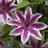 Plentree Pacchetto semi: 100 fiori di giglio s bellissimo albero di fiori bonsai come decorazione giardino fiorito porta interna e fuori: grigio chiaro