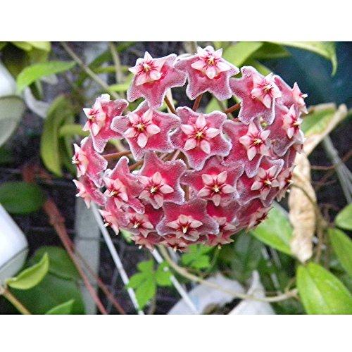 hoya publicalix fiore di cera vaso 12cm perenni