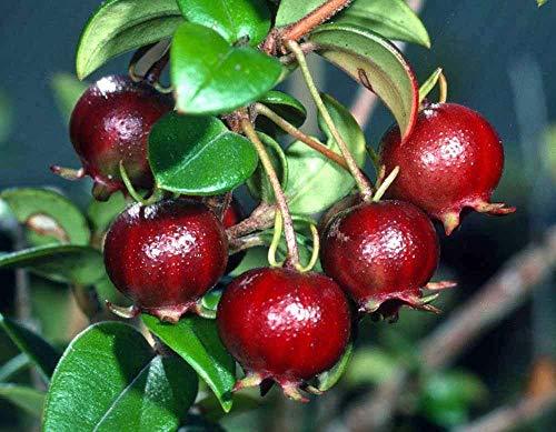 seedsown ugni molinae | guava cileno | fragola myrtle | 10 semi