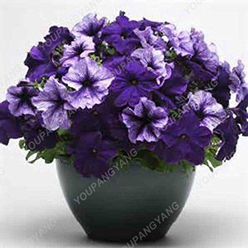 200 pcs / sac Petunia Graines Bonsaï Graines de fleurs Court Taille Jardin Fleurs Graines d'intérieur ou extérieur Plante en pot Livraison gratuite kaki foncé
