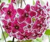 Hoya carnosa Pink - Porzellanblume - Wachsblume - 10 Samen