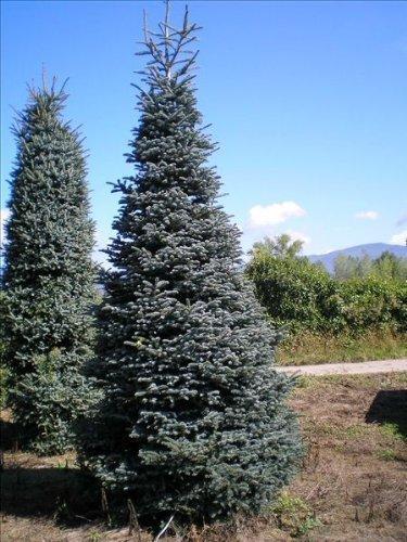 Tree Seeds Online - Quatre Différent Conifères Arbres 25 De Chacun 100 Semences - 10 Packs
