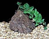 Dioscorea hemicrypta - Elefantenfuß - Caudex - 5 Samen