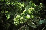 Echter Wilder Hopfen Bierhopfen - Selbst Bier brauen - Kletterpflanze - Humulus lupulus - 1 Pflanze - 60-80cm Topf 2Ltr.