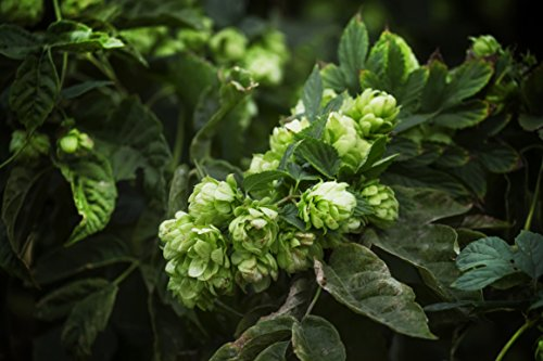 Echter Wilder Hopfen Bierhopfen - Selbst Bier brauen - Kletterpflanze - Humulus lupulus - 1 Pflanze - 60-80cm Topf 2Ltr. - Brauen Topf
