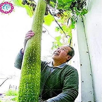 Vista 10 pcs Luffa cylindrica, loofah, graines de gourde à serviette angulaire, graines de luffa long, graines de légumes pour plantes d'intérieur