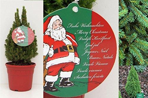 Kleiner Weihnachtsbaum Picea glauca Zwergzuckerhut-Fichte weihnachtsroter Dekortopf Preis nach Stückzahl 10 Stück
