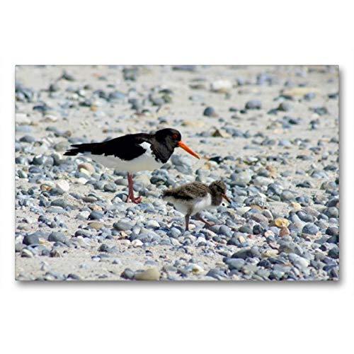 Calvendo Premium Textil-Leinwand 90 cm x 60 cm quer, Austernfische mit Küken   Wandbild, Bild auf Keilrahmen, Fertigbild auf echter Leinwand, Leinwanddruck: Insel Helgoland Natur Natur -