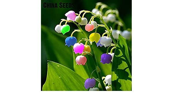 US-Seller 50pcs import bell orchid seeds fragrant orchid all colors of flowers