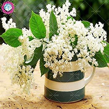Samen-Paket Nicht Pflanzen: PC/Beutel Elder Blumen-Samen Samen,
