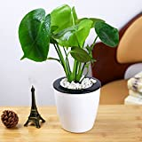 Monstera Topfpflanzen - 20 Samen Indoor Zierpflanzen, Grüner Blätter Immergrün
