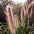 Lampenputzergras 'Herbstzauber' - Pennisetum alopecuroides 'Herbstzauber' - Dekoratives Ziergras von Native Plants auf Du und dein Garten