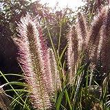 Lampenputzergras 'Herbstzauber' - Pennisetum alopecuroides 'Herbstzauber' -...