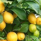 Citronnier 4 saisons - Citrus lemon greffé
