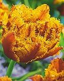 Gefüllte Gefranste Tulpen Bastia Tulpenzwiebeln (20 Blumenzwiebeln)
