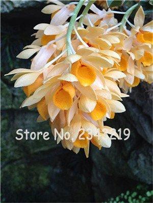 100 Pcs Dendrobium graines, semences de fleurs en pot Bonsai d'orchidées rares en herbe 95% Taux de couleurs mélangées 15