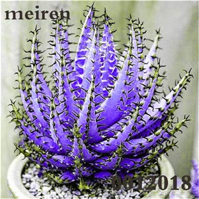 Plentree Pacchetto semi: 100 pezzi Succulente Aloe Bonsai Rare Polyphylla rotazione Aloe Vera regina Bonsai Piante grasse per la casa e amp; Giardino: 18